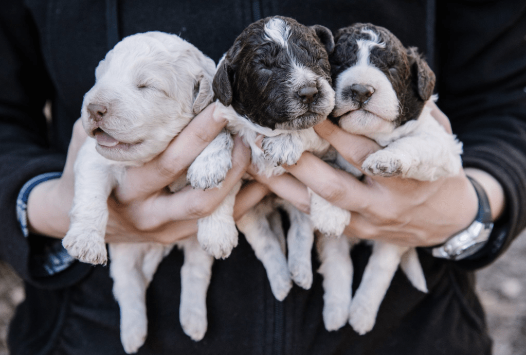 Lagotto Romagnolo truffle hunting puppies at Blackberry Farm. (Facebook)