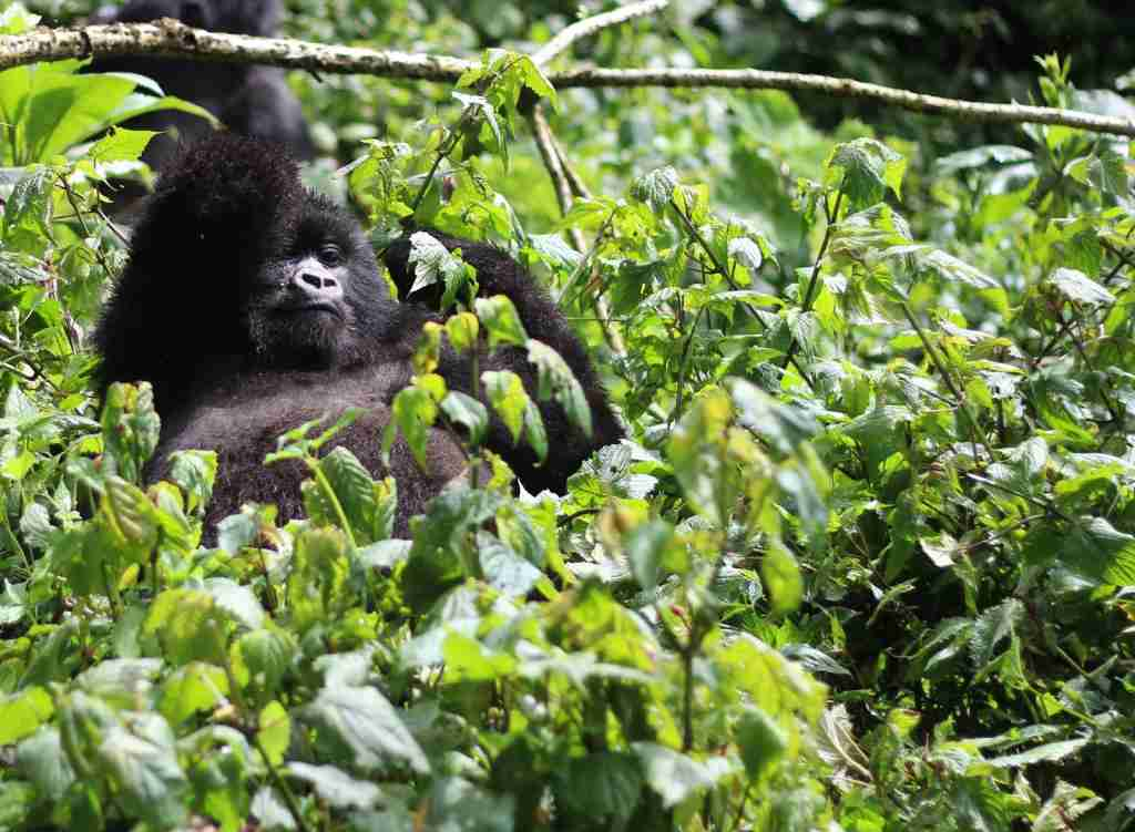 A Gorilla relaxing in Volcanoes National Park. (Photo via Shutterstock)