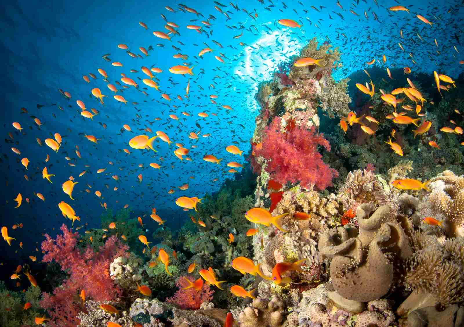A thriving coral reef in the Red Sea, Egypt. (Photo via Getty Images)