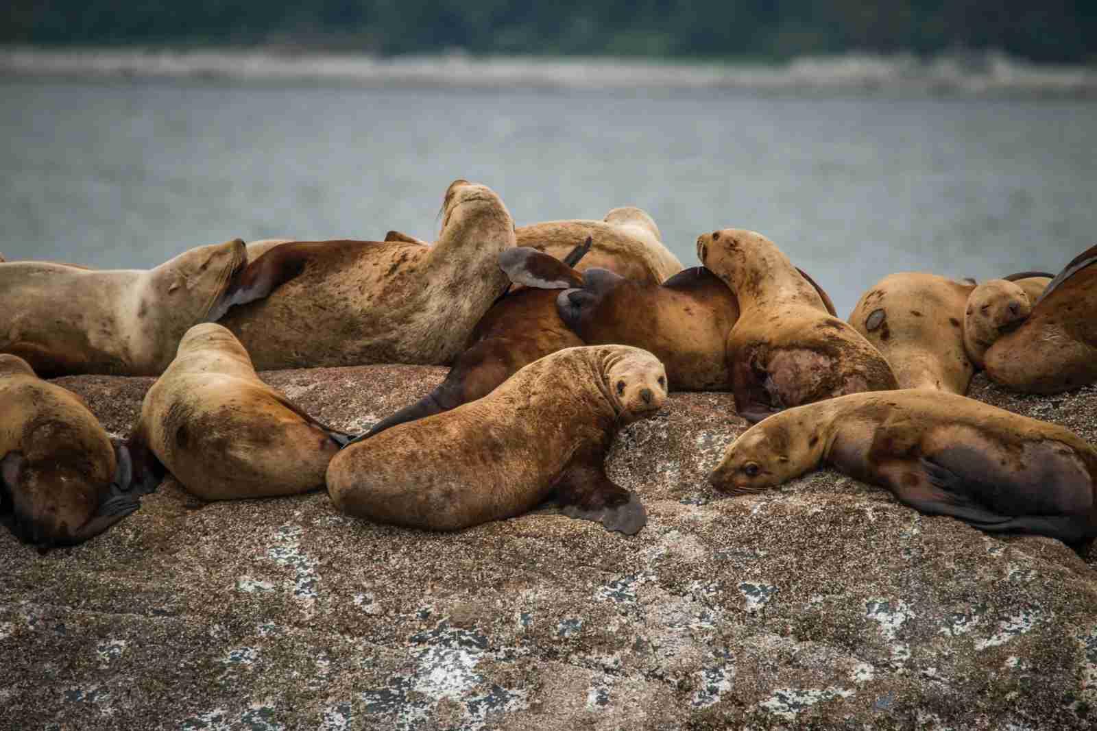 Seals piling up in Juneau, Alaska. (Photo by Steve Halama/Unsplash)