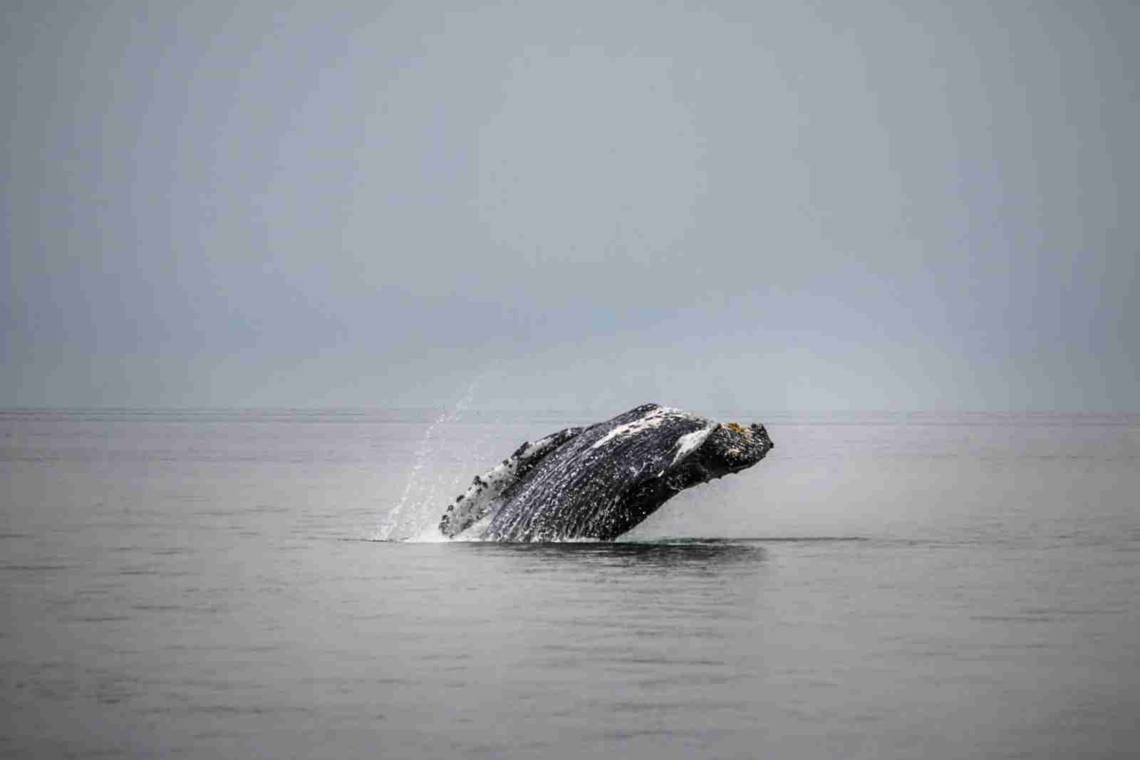 Cruises come with the opportunity to spot wildlife, like this whale in Juneau, Alaska. (Photo by Steve Halama/Unsplash)