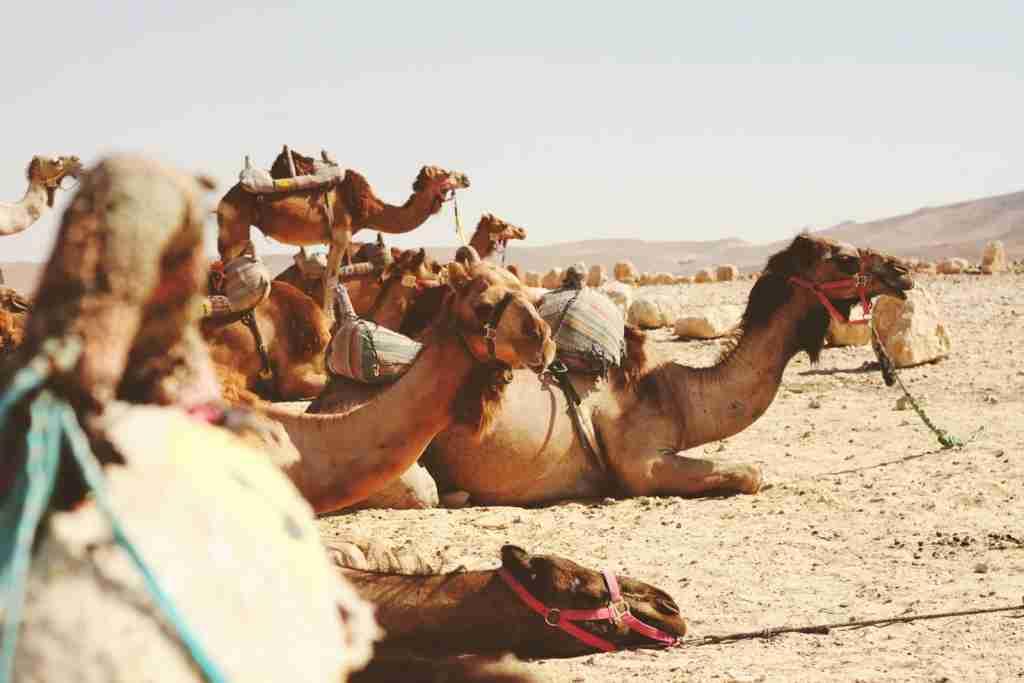 Camels in the Negev Desert. (Photo by James Ballard/Unsplash)