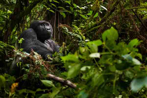 A gorilla in the Volcanoes National Park, Rwanda. (Photo by Mint Images Art Wolfe / Getty Images)
