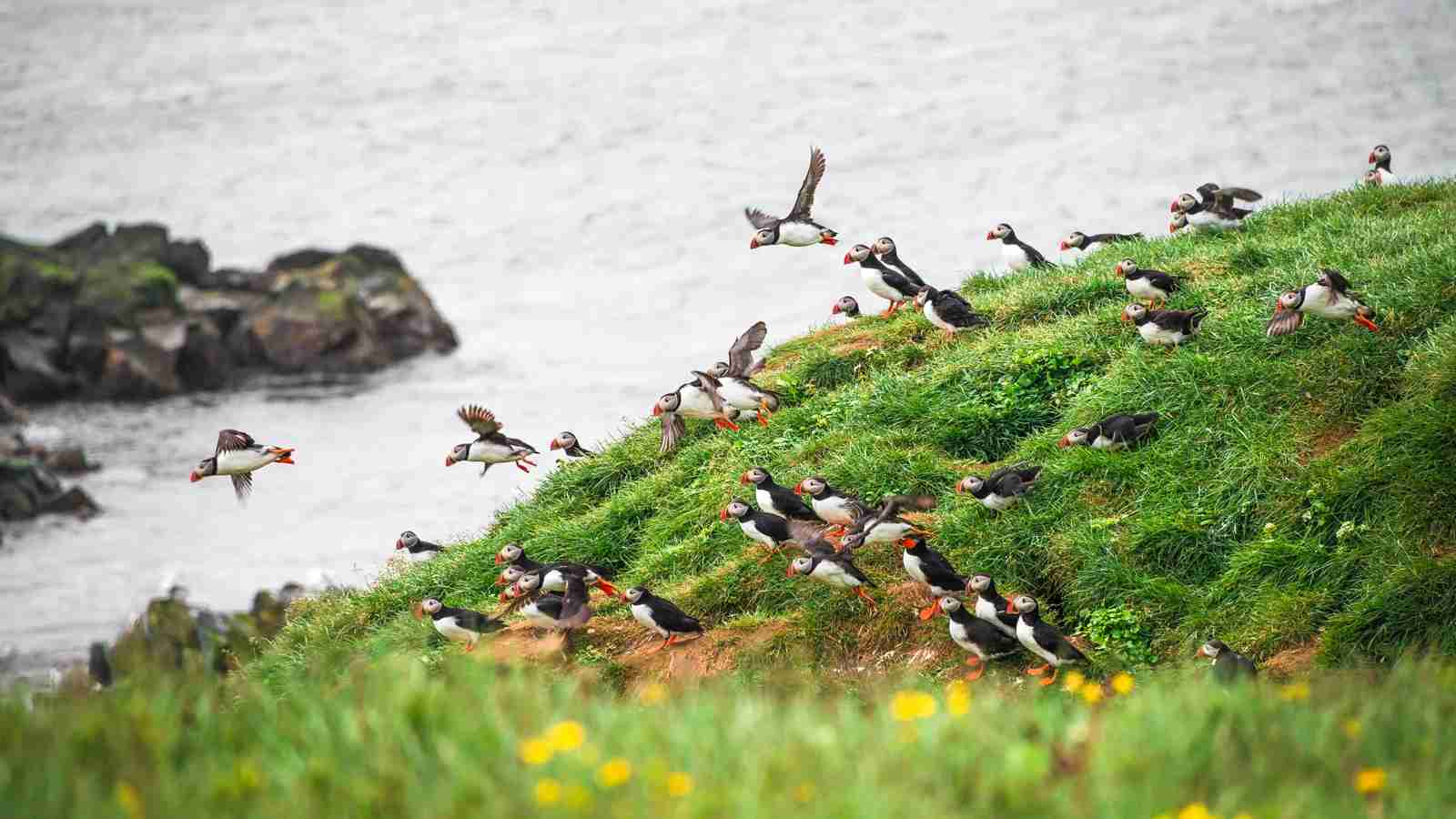 Puffins Iceland Migrating