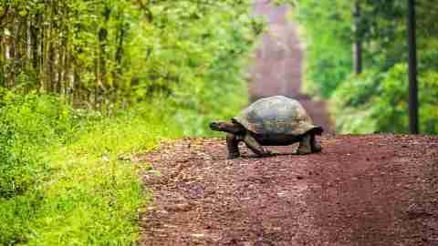 Galapagos Tortoise Crossing Road