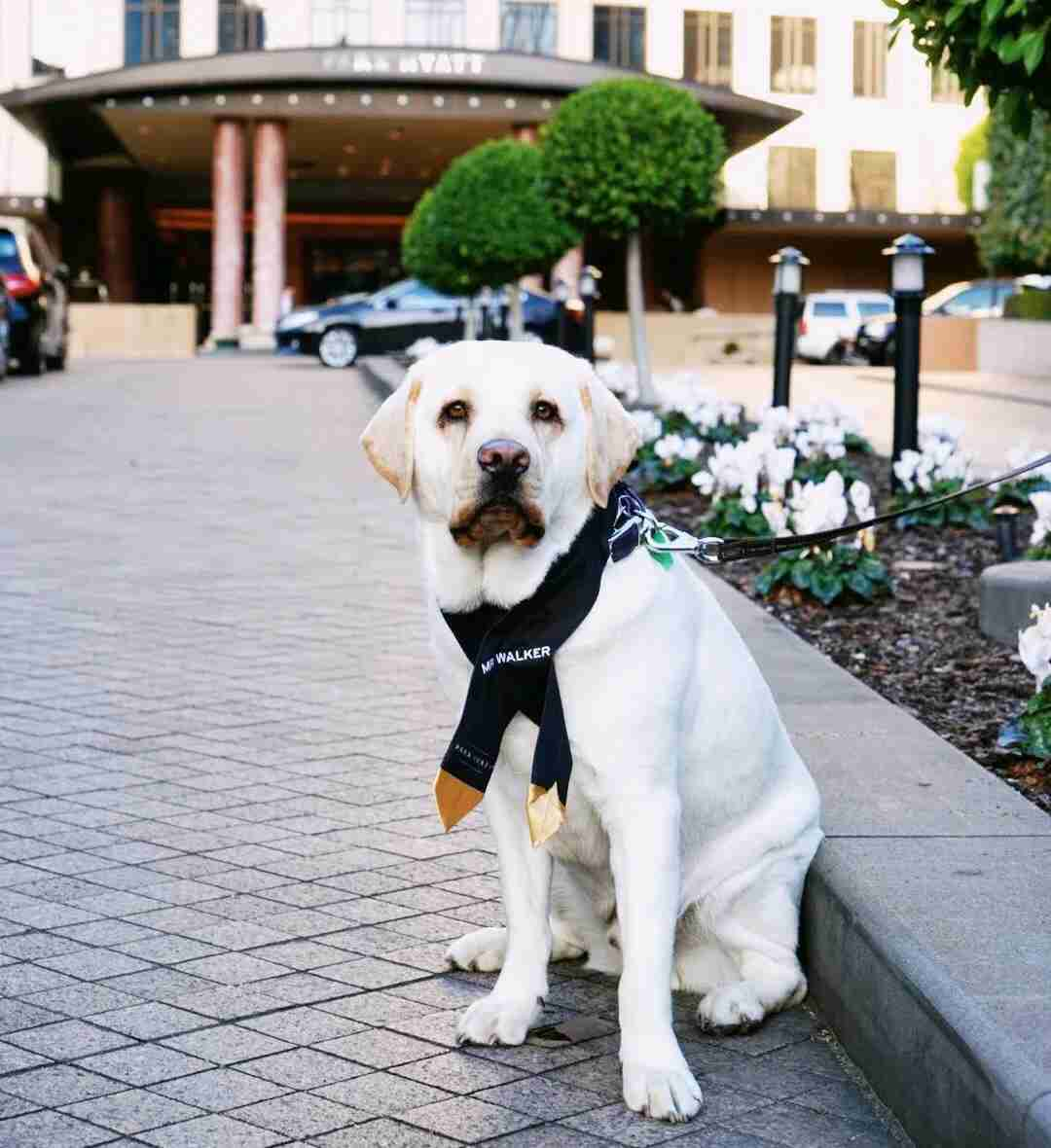Mr. Walker, canine ambassador (Photo courtesy of Park Hyatt Melbourne)