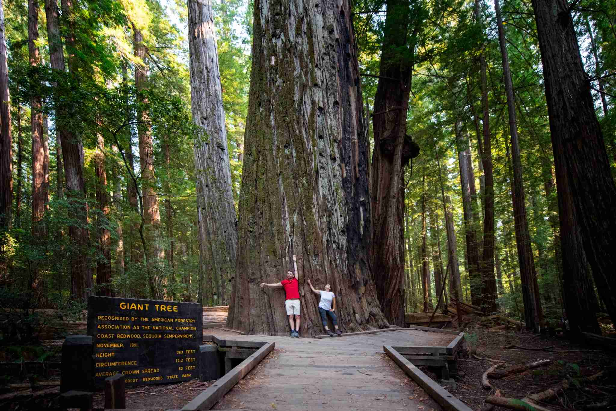 """Tourists in front of """"The Giant Tree"""" in the Redwood National Park, recognized by the American Forestry Association as the National Champion coast Redwood Sequoia Sempervirens. Height 363 Feet, Circumference 53.2 Feet, Average Crown Spread 62 Feet. Humboldt Redwoods State Park. California, USA."""