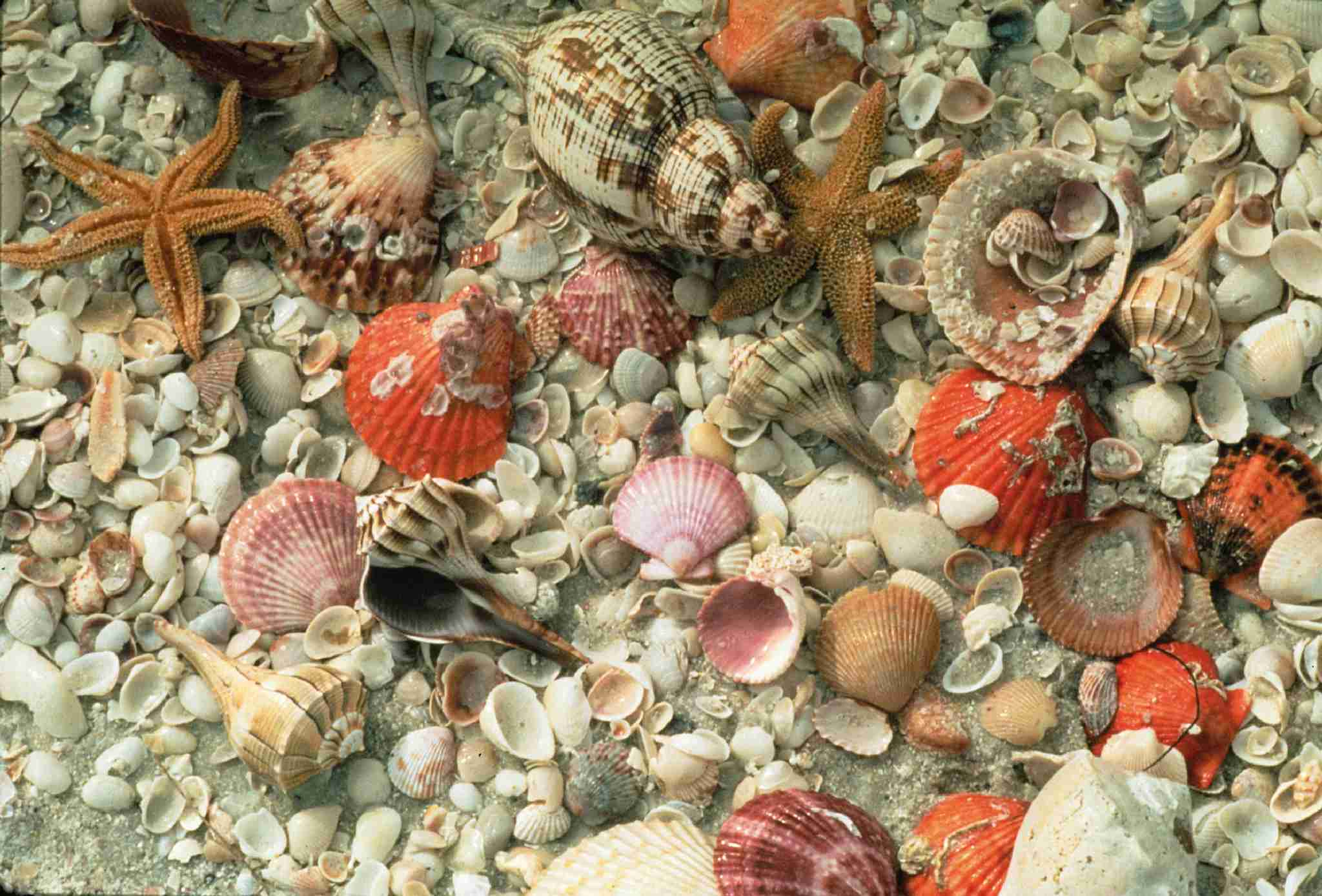 Shelling on Sanibel Island - Florida