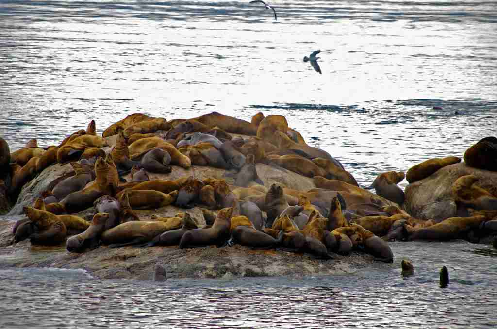 Viewing seals and sea lions are among the allures of a waterborne tour of Glacier Bay National Park. (Photo by Photos Reinhard Pantke courtesy of Travel Alaska).