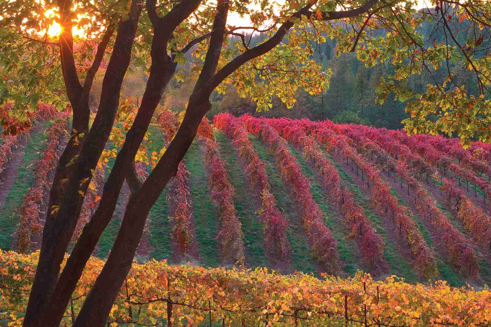 Boeger Vineyard in Placerville. (Photo by Provided by jp2pix.com/Getty Images)