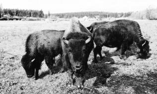 The bison herd