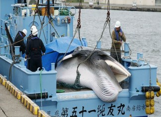 Japan resumes commercial whaling for the first time in 31 years