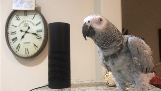 Parrot_Petra_the_African_Grey_and_her_Amazon_Echo_Alexa_reuse_Wikimedia_Commons.jpg