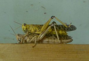 The life cycle of the desert locust consists of three stages, the egg, the nymph known as a hopper, and the winged adult. Copulation takes place when a mature male hops onto the back of a mature female and grips her body with his legs. Sperm is transferred from the tip of his abdomen to the tip of hers, where it is stored. The process takes several hours and one insemination is sufficient for a number of batches of eggs.[8]