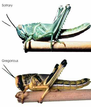 Desert locusts have two phases, the solitary phase and the gregarious phase. This is a type of polyphenism. It has been shown that solitary locusts nymphs and adults can behave gregariously within a few hours of being placed in a crowded situation, while it takes gregarious locusts one or more generations to become solitary when reared in isolation.[9] There are differences in morphology and behaviour between the two phases. In the solitary phase the hoppers do not group together into bands but move about independently. Their colouring in the later instars tends to be greenish or brownish to match the colour of the herbage. The adults fly at night and are also coloured so as to blend into their surroundings, the immature adults being grey or beige and the mature adults being a pale yellowish colour. In the gregarious phase the hoppers bunch together and in the later instars develop a bold colouring with black markings on a yellow background. The immatures are pink and the mature adults are bright yellow and fly during the day in dense swarms.[8]  The change from an innocuous solitary insect to a voracious gregarious one normally follows a period of drought, when rain falls and vegetation flushes occur in major desert locust breeding locations. The population builds up rapidly and the competition for food increases.[10] As hoppers get more crowded, the close physical contact causes the insects