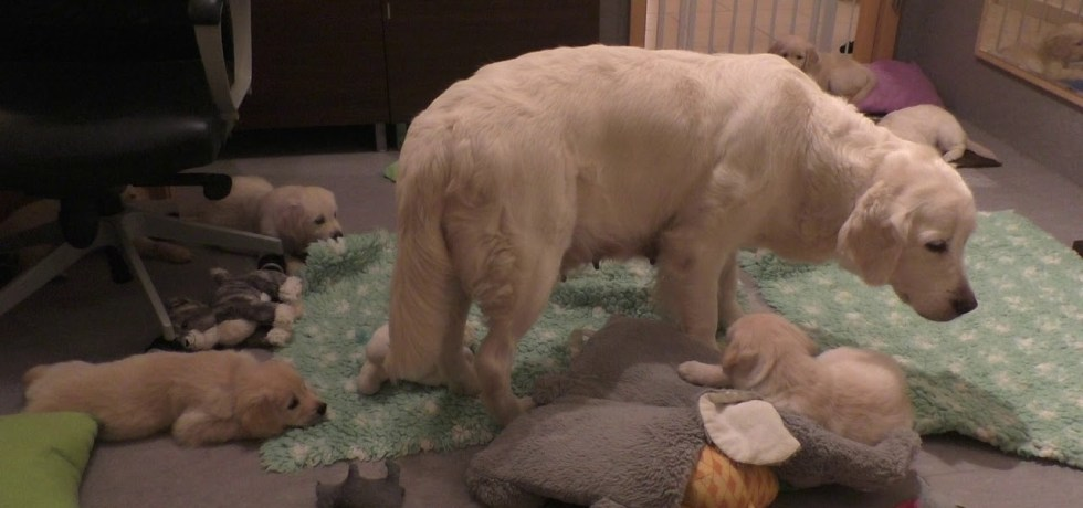How an experienced dog mother teaches her 8 weeks old puppies to be calm. www.sentfromheaven.at