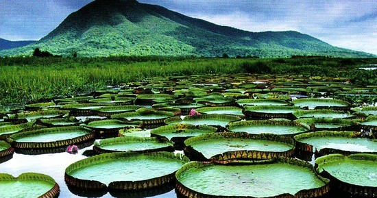 Victoria amazonica. The common name for this organism is Giant Water Lily.