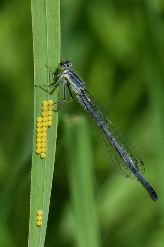 Damselfly and some eggs