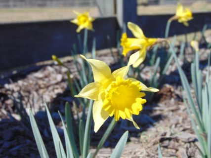 The daffodils that were planted last year are small, but coming up in abundance.