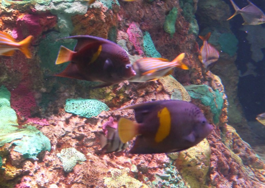 SWOR angelfish 1