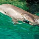 Discovery Cove Celebra el Nacimiento de Cinco Delfines Bebés