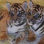 Cachorros de tigres de Sumatra en Peligro de Extinción llegan a Disney's Animal Kingdom