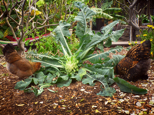 feeding green vegetables to chickens