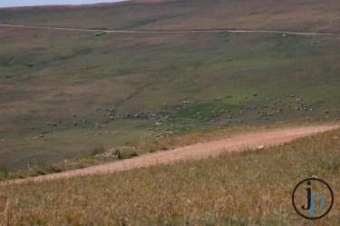 See all those sheep?