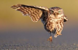 owl taking flight