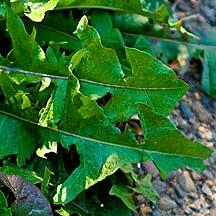 dandelion_leaf