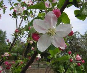 appleblossom-edit.jpg