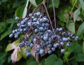 elderberryfrontpage