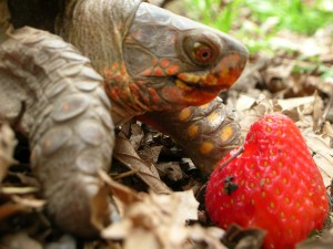 tortoise and strawberry