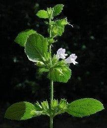 lemonbalmflower