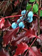 oregongrapesmallberries