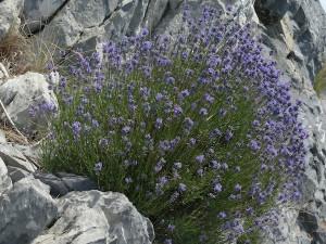 lavenderwholeplant1