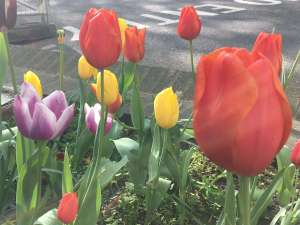 Tulips at Imperial College