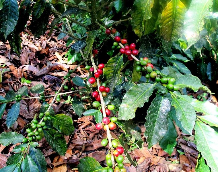 coffee grove fresh coffee cafeto colombian