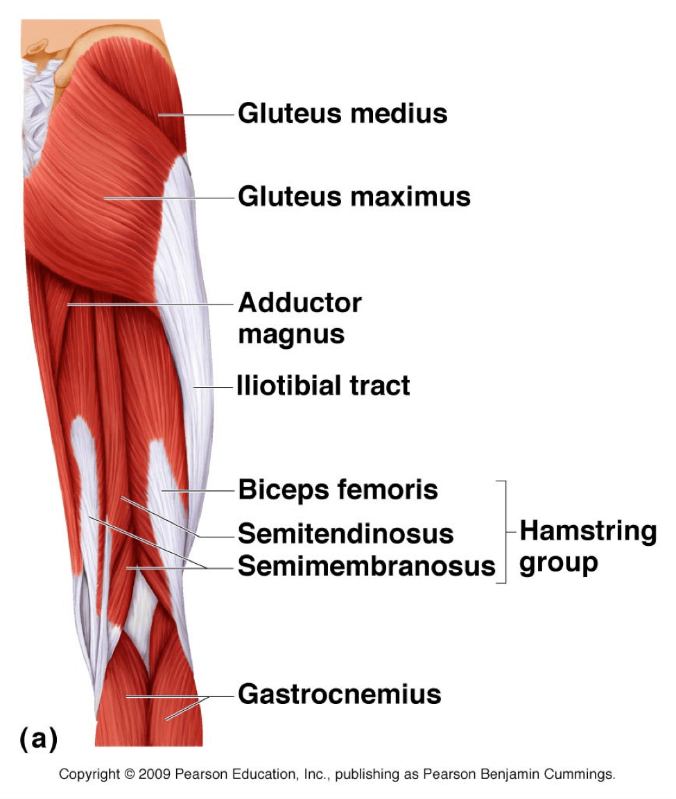 Gluteus Maximus And It U0026 39 S Unusual Role In Medial Knee Collapse