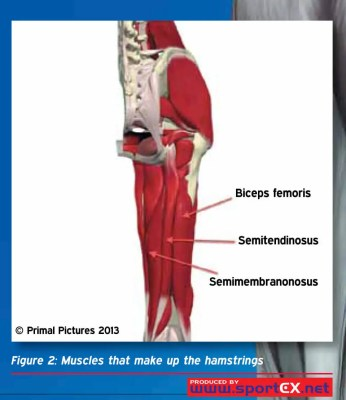 hamstrings anatomy proper hamstring stretching