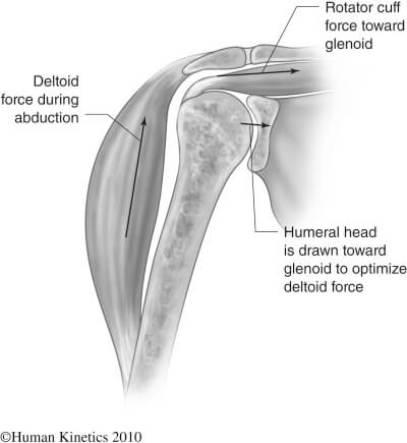 deltoid rotator cuff force couple prehab guys