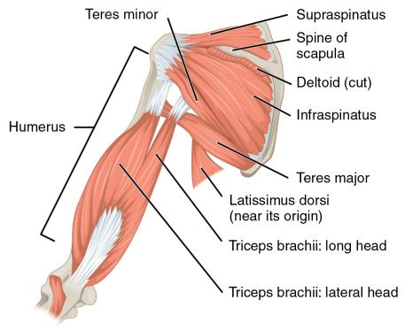 shoulder anatomy the prehab guys