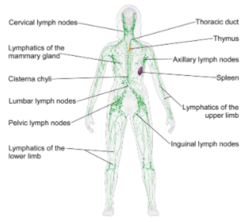 lymphatic system visual truth about icing injuries the prehab guys