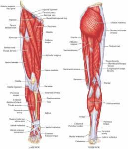 leg muscles prehab guys