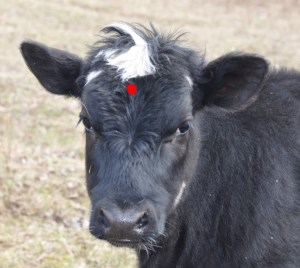 Where To Place Bullet In Cattle