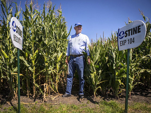 Image: Dwarf corn is lower in yield than standard varieties, but since it's shorter and takes less water and nutrients to develop its yield, it can offer a faster harvest after a late or delayed start to the season, or allow growers to avoid the driest parts of summer.