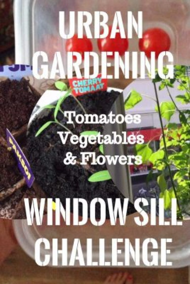 Growing tomatoes on your window sill