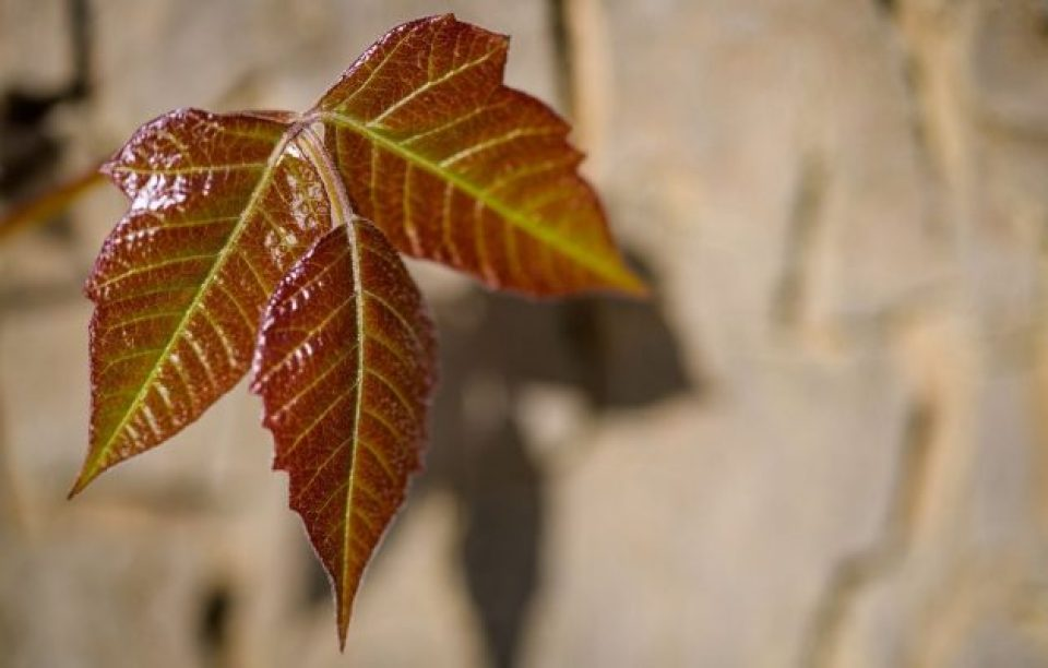 12 Most Effective Essential Oils to Soothe Poison Ivy