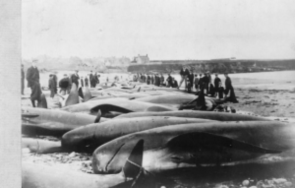 A successful whale hunt. Photo by Donald Bain 1900