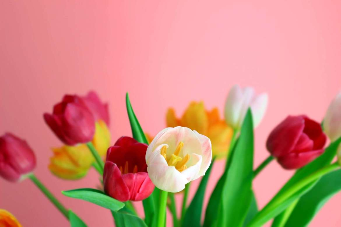 A pink background with white, yellow and red tulips. You can only see the heads of the tulips.
